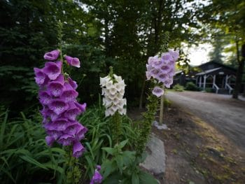 purple and white calming flowers at Camp Walt Whitman